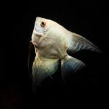 Platinum Angelfish_