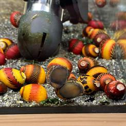 Red Racer Snails_