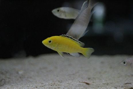 Yellow Lab_