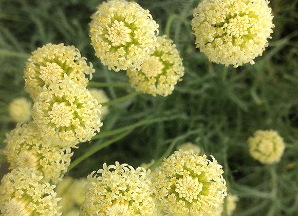 Cotton Lavender Edward Bowles