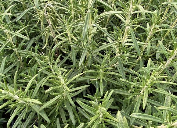Rosemary Common