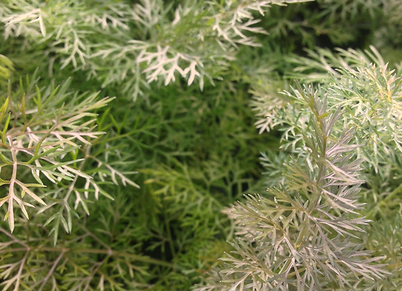 Fennel Bronze