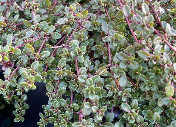 Thyme Russettings