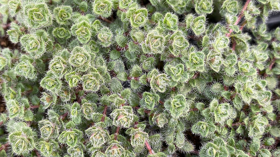 Thyme Woolly