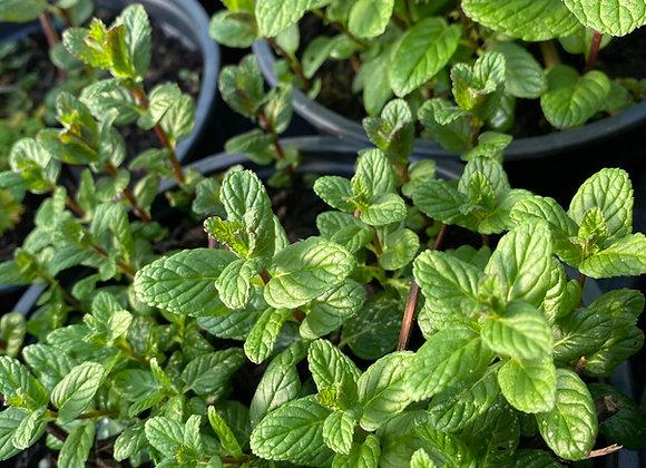 Mint Spearmint