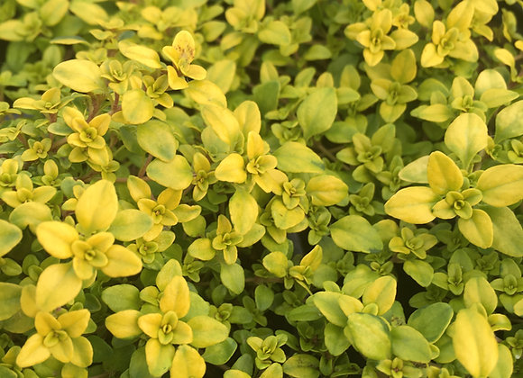 Thyme Archers Gold