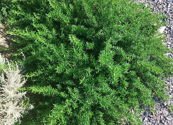 Rosemary Trailing