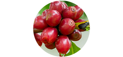 Natural Coffee Cherries
