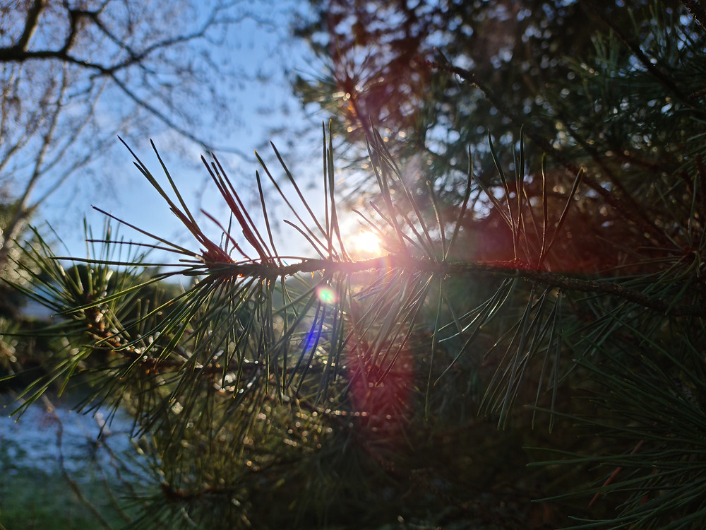 low winter sun behind pine tree branches. Clear blue sky and some snow on ground in background