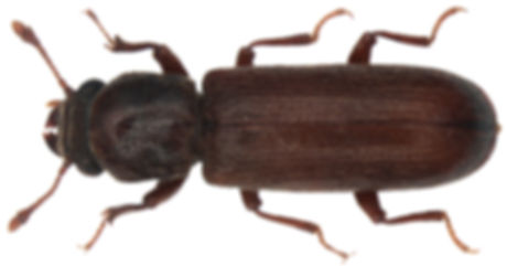 Nordamerikanische Splintholzkäfer (Lyctus planicollis)