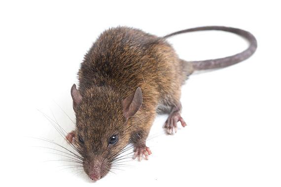 Wanderratten (Rattus norvegicus)