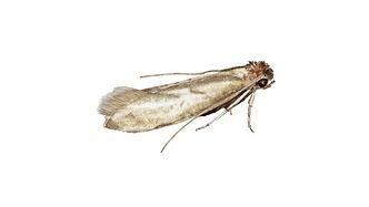 Kleidermotten (Tineola bisselliella)