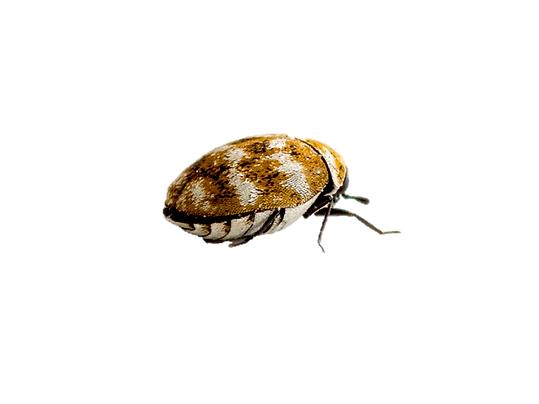 Berlinkäfer (Trogoderma angustum)