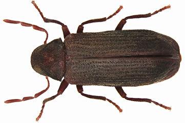 Gemeine Nagekäfer (Anobium punctatum)