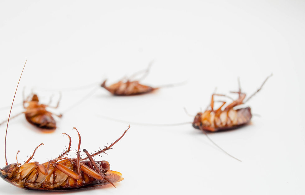 Cockroach%20isolated%20on%20white%20back
