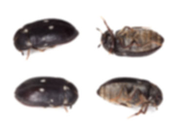 Fur beetle, different positions isolated