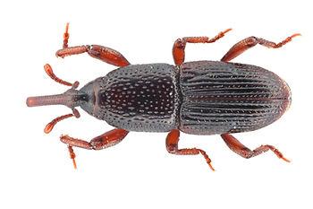 Maiskäfer (Sitophilus zeamais)