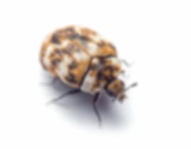 Teppichkäfer (Anthrenocerus australis)