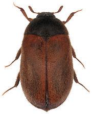 Braune Pelzkäfer (Attagenus smirnovi)