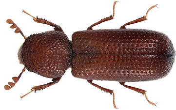 Getreidekapuziner (Rhizopertha dominica)