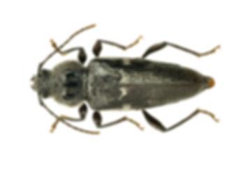Hausbock (Hylotrupes bajulus)