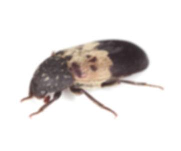 Gemeine Speckkäfer (Dermestes lardarius)
