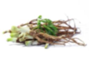 אנג'ליקה סינית angelica sinensis