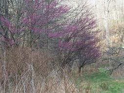 Cercic canadensis (Redbud) Chapel Road Park