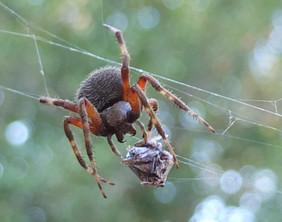 neoscona orb weaver spider.JPG