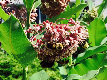 The beautiful common milkweed