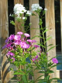 Phlox paniculata (Summer Phlox)
