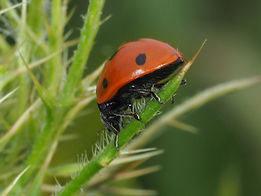 seven spotted lady beetle.jpg