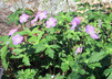 Wild Geranium (Geranium maculata)