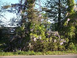 Invasive Asian wisteria.jpg
