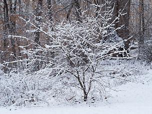 Viburnum prunifolium snow.jpg