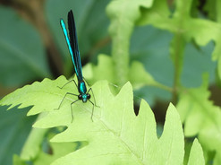 Ebony jewelwing damselfly on Sensitive Fern