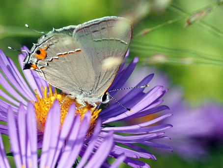 Let's pledge to save the butterflies in our yards!