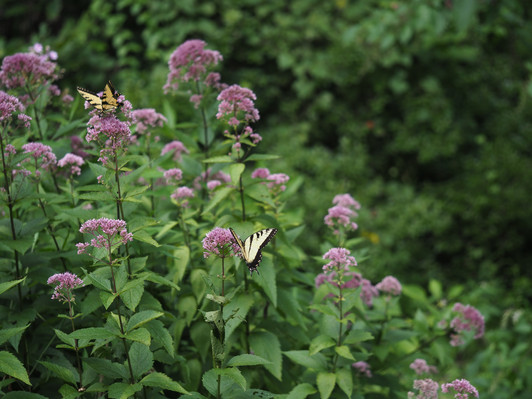 Tiger swallowtails on Joe Pye weed.jpg