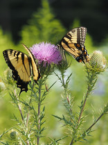 Field Thistle (Cirsium discolor)