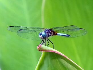 blue dasher dragonfly.