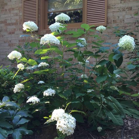 Hydrangea arborescens (Smooth Hydrangea)