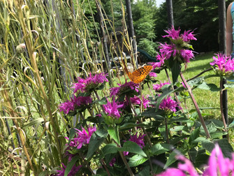 Bee balm with fritillary.JPEG