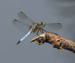 blue dasher dragonfly 2.jpg