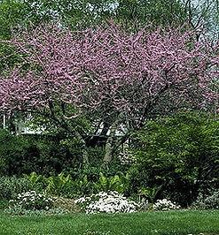 Cercis canadensis Eastern redbud.jpg