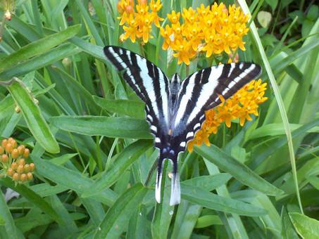 Asclepias tuberosa and zebra swallowtail