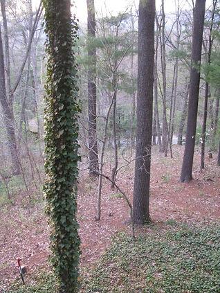 Invasive English ivy.jpg