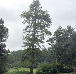 Pinus%20rigida_edited.jpg