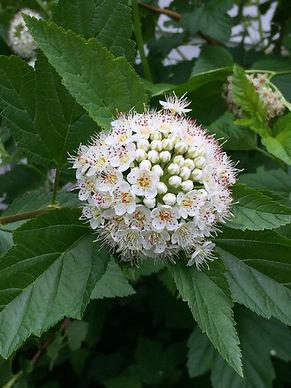 physocarpus_opulifolium.jpg