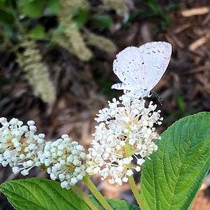 Summer azure on Ceanothus americanus.jpg