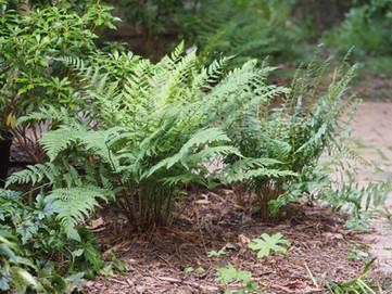 Dryopteris marginalis and Christmas fern